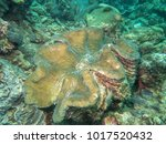 big clam on the sea  philippines | Shutterstock . vector #1017520432