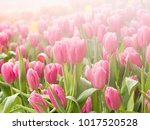 pink tulips with water drop  ... | Shutterstock . vector #1017520528