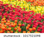 colorful of tulips in garden. | Shutterstock . vector #1017521098