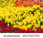 colorful of tulips in garden. | Shutterstock . vector #1017521752