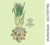 chufa  tiger nut  tuber of... | Shutterstock .eps vector #1017557782