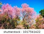 beautiful view cherry blossom... | Shutterstock . vector #1017561622