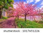 cherry trees in full bloom... | Shutterstock . vector #1017651226