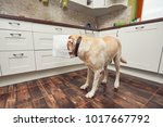 naughty dog in home kitchen.... | Shutterstock . vector #1017667792