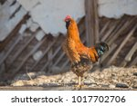 fighting cock  cock for a walk | Shutterstock . vector #1017702706