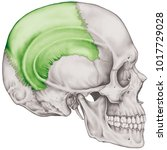 the parietal bone of the... | Shutterstock . vector #1017729028