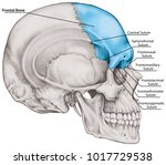 the frontal bone of the cranium ... | Shutterstock . vector #1017729538