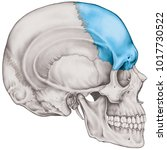 the frontal bone of the cranium ... | Shutterstock . vector #1017730522