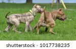 two american pit bull terrier... | Shutterstock . vector #1017738235