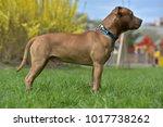 brown american pit bull terrier ... | Shutterstock . vector #1017738262