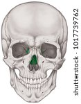 the ethmoid bone of the cranium ... | Shutterstock . vector #1017739762
