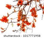 bastard teak flower on white... | Shutterstock . vector #1017771958
