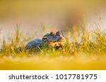 portrait of yacare caiman in... | Shutterstock . vector #1017781975