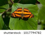 Small photo of Common Jester butterfly, Symbrenthia lilaea khasiana, Satakha
