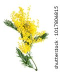 Stock photo mimosa flowers bunch isolated on white background 1017806815