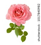 Stock photo beautiful rose isolated on white background 1017840982