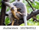Dusky Langur Monkey Baby Or...