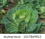 organic cabbage growing in a...   Shutterstock . vector #1017869812