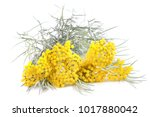 Helichrysum Flowers Isolated On ...