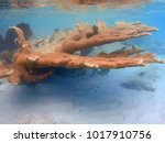 Small photo of Underwater view of orange elkhorn coral (acropora palmata) in the Caribbean Sea