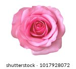 Stock photo pink rose flower top view isolated on white background clipping path included 1017928072