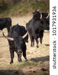 Small photo of Francia,Camargue, Saintes-Maries-de-la-Mer, the bull in the country