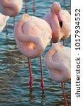 Small photo of Francia,Camargue, Saintes-Maries-de-la-Mer, the park with Flamingos