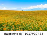 the orange daylilies are... | Shutterstock . vector #1017937435