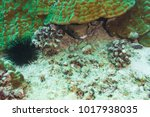 giant spotted pufferfish hiding ...   Shutterstock . vector #1017938035