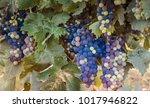 multicolor bunches of red wine...   Shutterstock . vector #1017946822