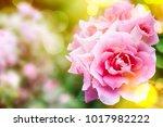 rose in the summer garden ...   Shutterstock . vector #1017982222