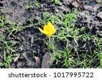 Spring Crocus  Crocus Vernus ...