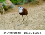 Small photo of Actophilornis africana African jacana Bird at Beige sand