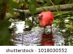 scarlet ibis in water | Shutterstock . vector #1018030552
