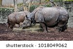 great indian rhinoceros. latin... | Shutterstock . vector #1018049062