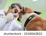 doctor vet checks the eyes and... | Shutterstock . vector #1018063822