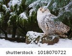 A Snowy Owl Sitting In Front O...