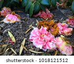 Small photo of Decaying fallen camellia flowers on ground amongst greenery.