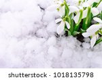 snowdrop flower coming out from ... | Shutterstock . vector #1018135798
