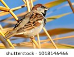 a beautiful sparrow sits in the ... | Shutterstock . vector #1018146466