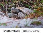 Stock photo gopher tortoise florida 1018177342