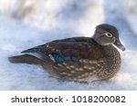 An Adult Female Wood Duck With...