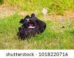 beautiful west australian black ...   Shutterstock . vector #1018220716