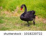 beautiful west australian black ...   Shutterstock . vector #1018220722