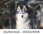Siberian Husky In Winter