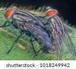 Small photo of Houseflies copulate on leaf.
