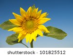 closeup of sunflower on clear blue sky - stock photo