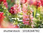 snap dragon  antirrhinum majus  ...   Shutterstock . vector #1018268782