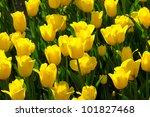 Bright Colorful Tulip Blossoms...