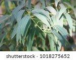 eucalyptus radiata or narrow...   Shutterstock . vector #1018275652